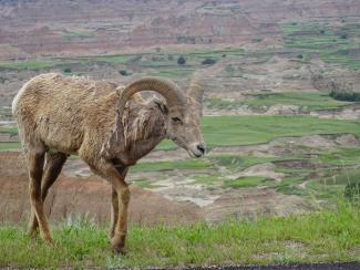 Bighorn sheep in Badlands