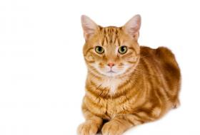 abyssinian cats for sale