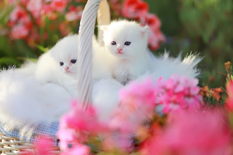 Persian cat doll face images