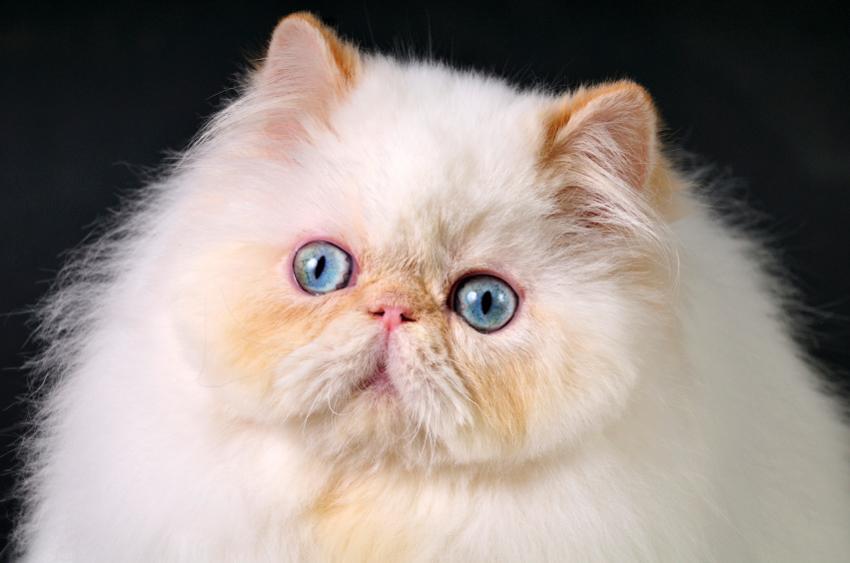 Persian cat fun facts