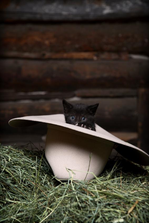 Kitten In the Hat