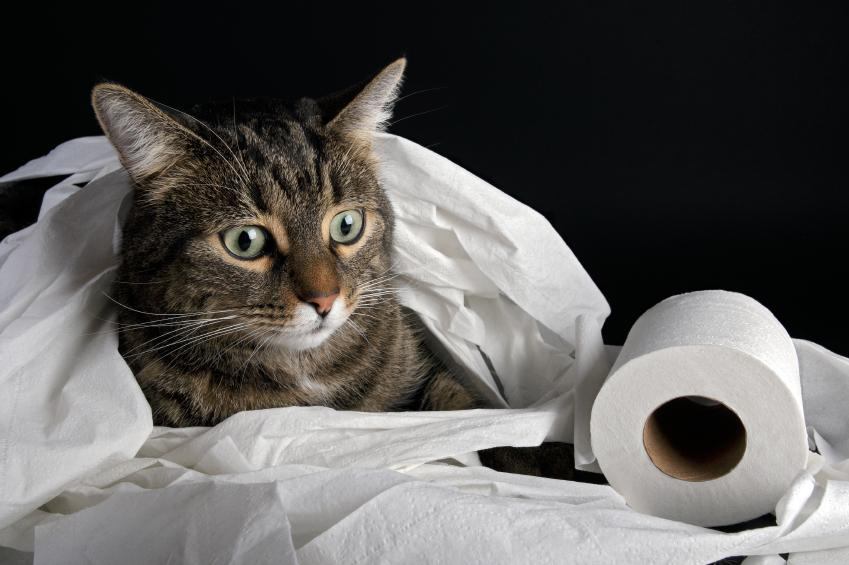 kitty in toilet paper