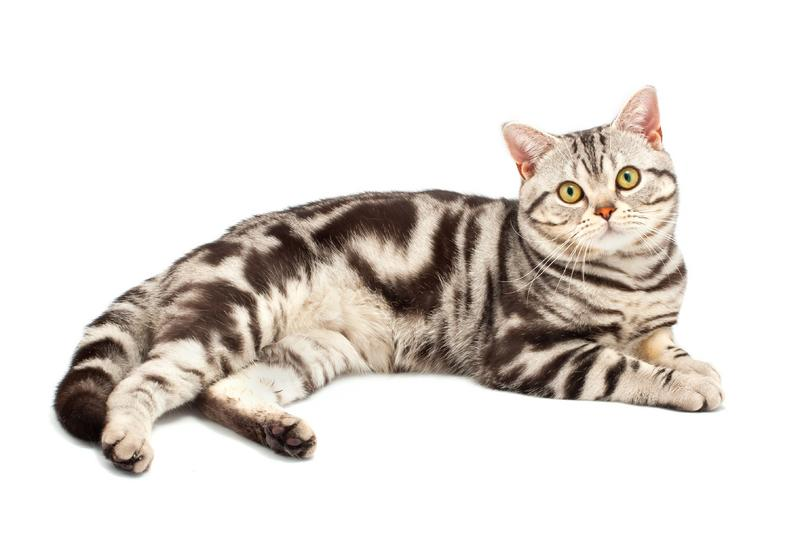 What Are the Most Popular Cat Breeds   Slideshow
