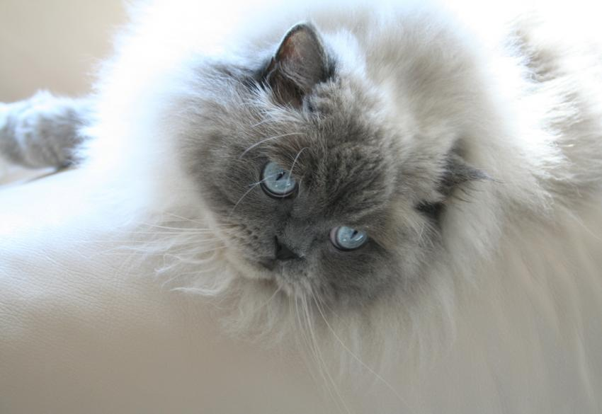 Blue Point Doll Face Himalayan
