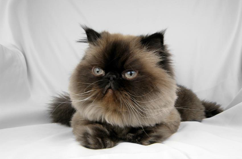 Himalayan Cat Pictures [Slideshow]
