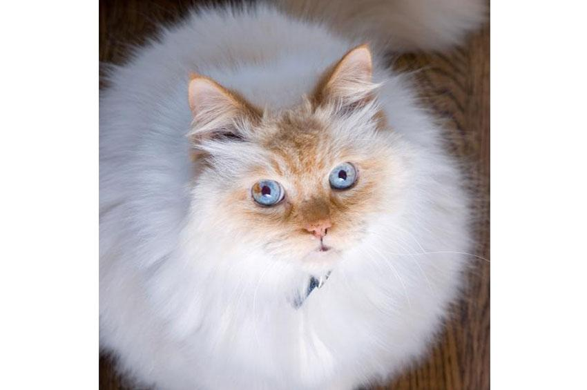 Flamepoint Himalayan cat