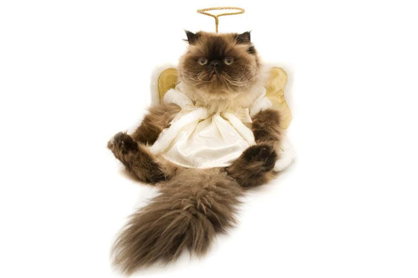 Himalayan in angel costume