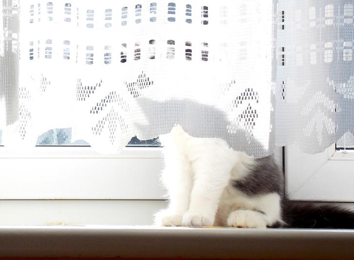 kitty behind lace curtain