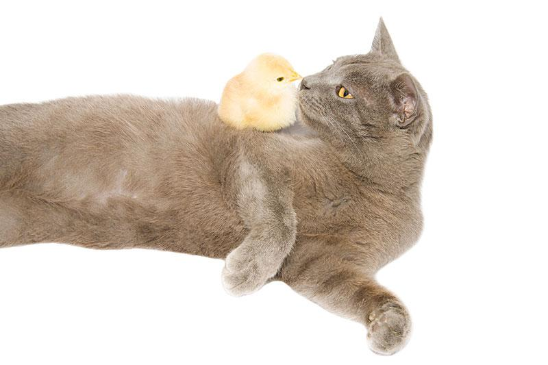 Cat and Baby Chicken