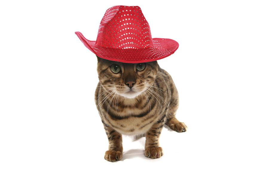 Cat wearing cowboy hat