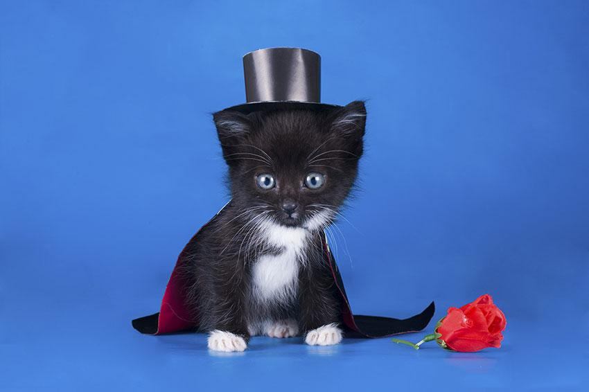 Kitten in a magician suit