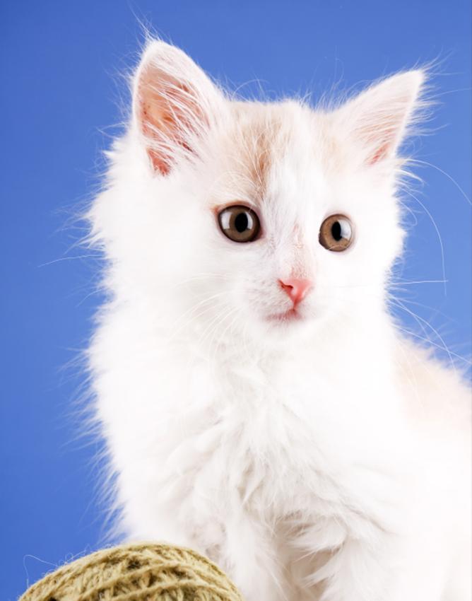 A fluffy white kitten.