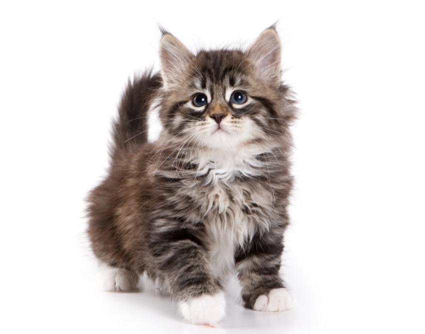 A wild-looking fuzzy kitten.
