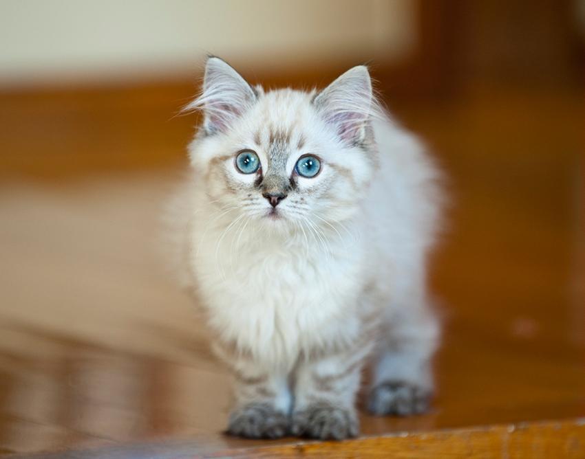 A beautiful ragdoll kitten.