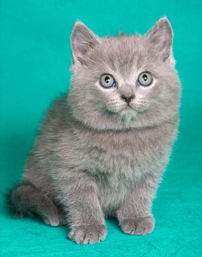 An adorable gray kitten.