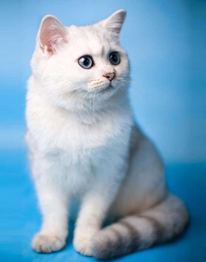 A chinchilla kitten.