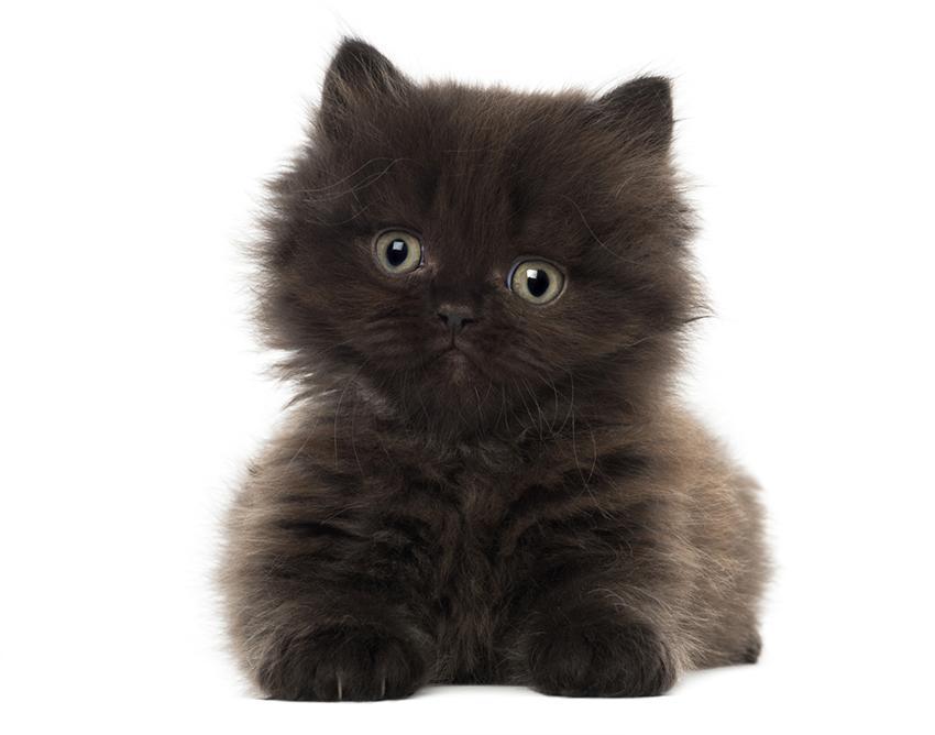 A British longhair kitten.