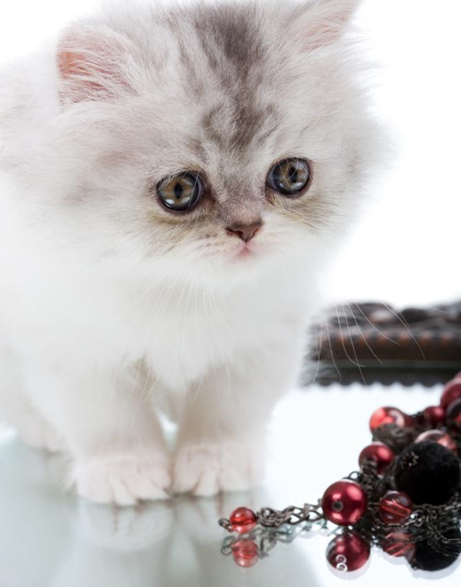 A Persian kitten.
