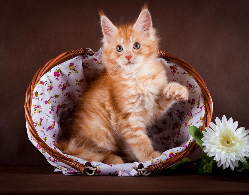 A Maine Coon kitten.