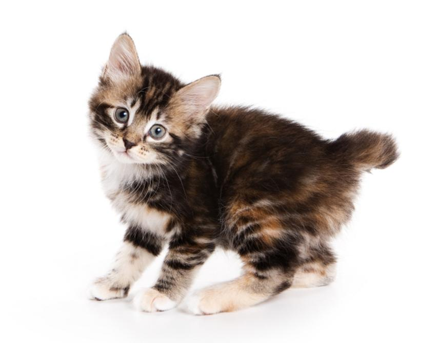 A Kurilian Bobtail kitten.