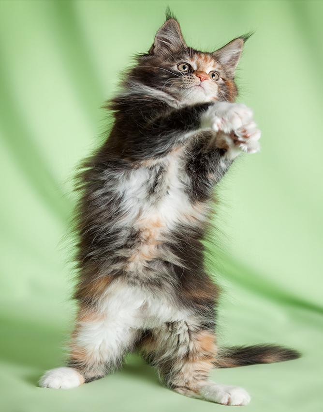 A Norwegian Forest Cat.