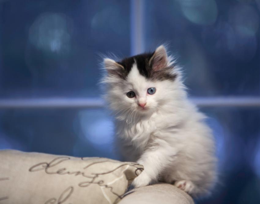 A fluffy kitten.