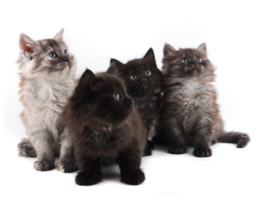 Four fuzzy kittens.