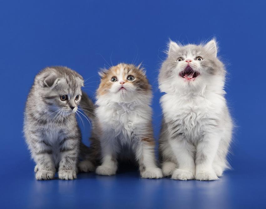 Scottish fold kittens.