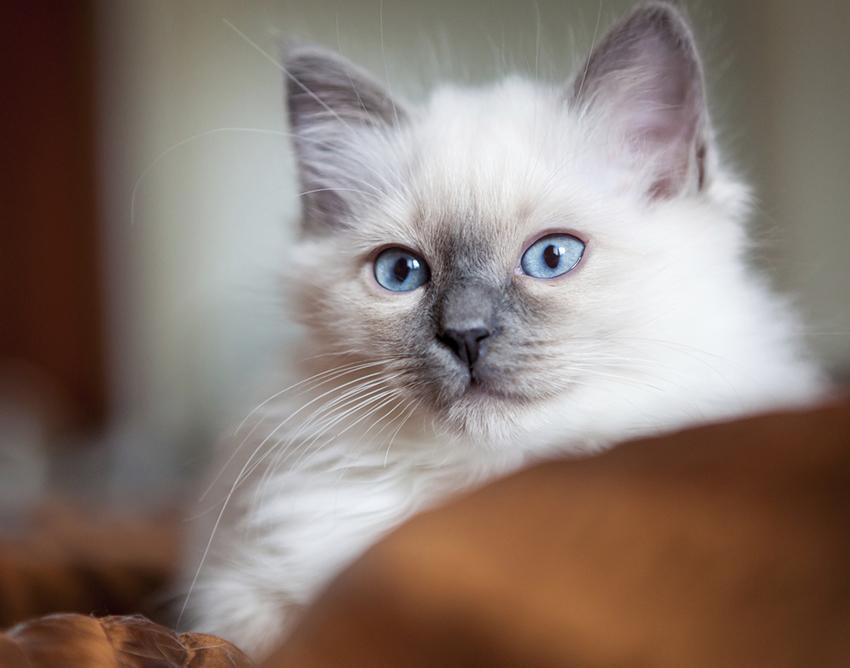 A Birman kitten.