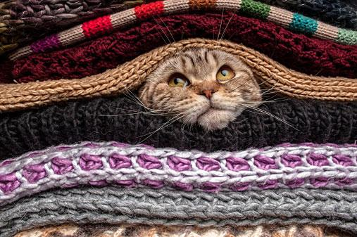 Cat between blankets