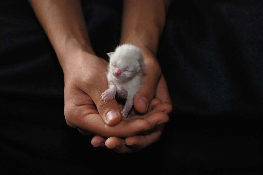 New Born Siamese kitten
