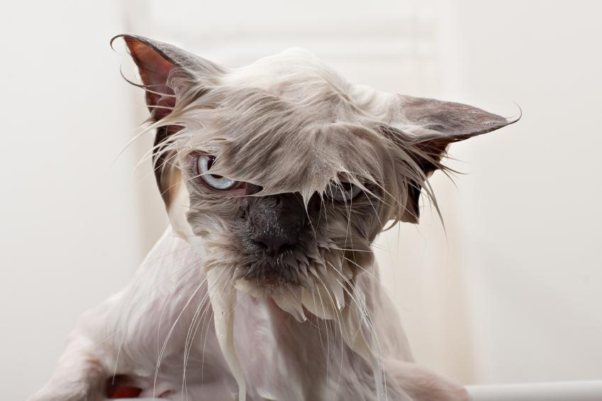 Wet Himalayan cat
