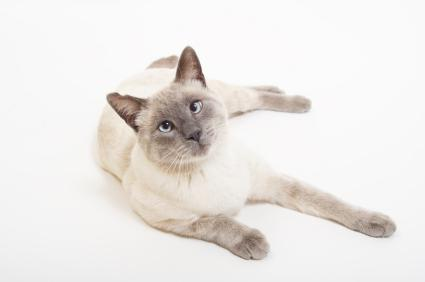 Types of Siamese Cats [Slideshow]