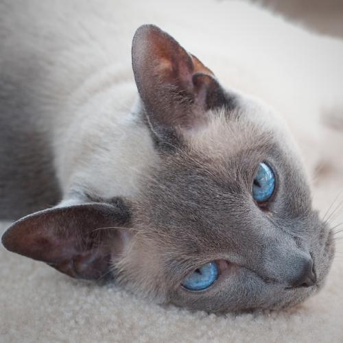 antihistamine for cats sneezing