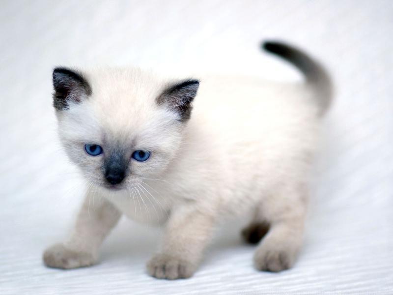 cute fluffy siamese kittens - photo #33