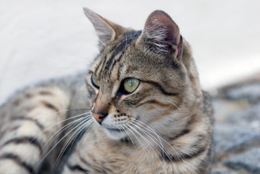 arctic cat tigershark
