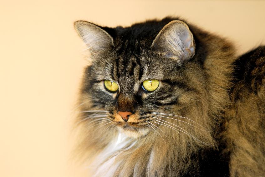 Manx Cat Images [Slide...