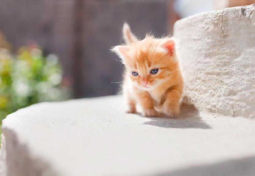 Pictures Of Munchkin Kittens on fat scottish fold munchkin cat