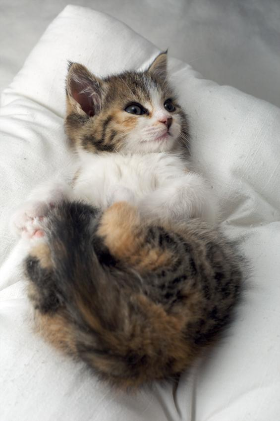 muchkin cats Munchkin limb deformity related terms: achondroplasia, chondrodysplasia outline: due to a deleterious genetic mutation, the limb bones of munchkin cats.