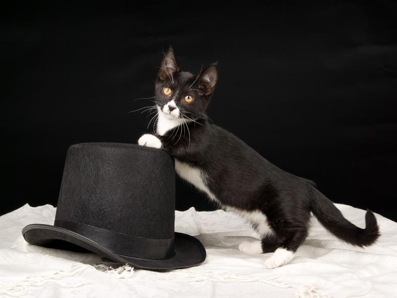 tuxedo Munchkin kitten | countrymunchkins2011 | Flickr  |Tuxedo Munchkin Cat Kittens