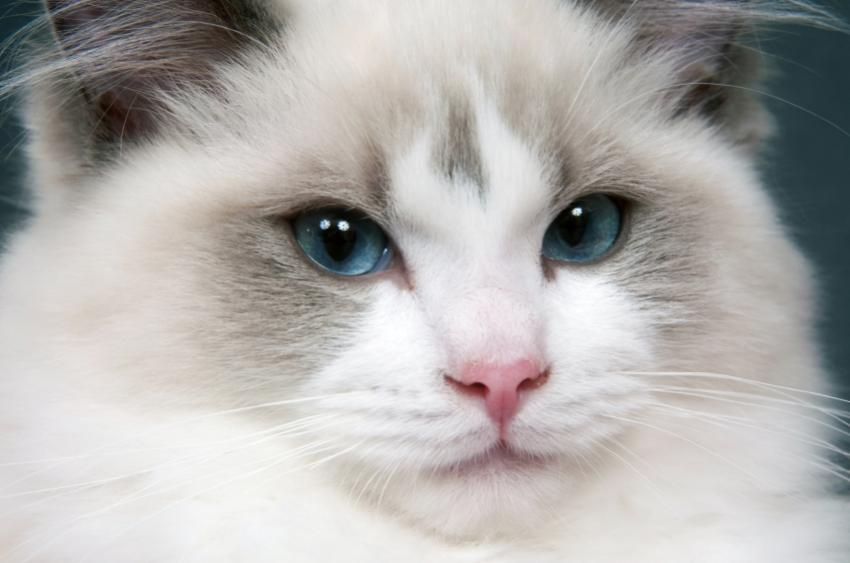 cheshire cat original