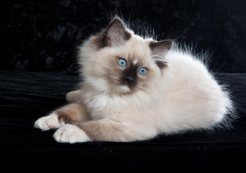 Exotic Cat Breeds That Look Very Much Like Wild Cats