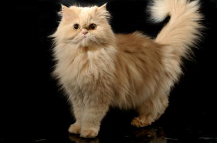 Persian cat without fur