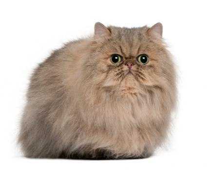 Persian cat facts slideshow
