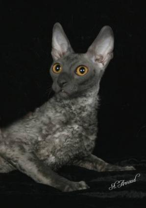 Cornish Rex Cat Breeder