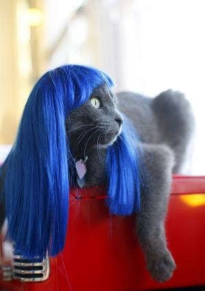 Kitty in a blue wig
