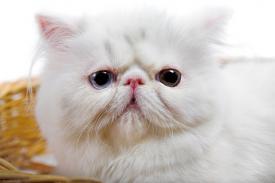 Show Persian kitten