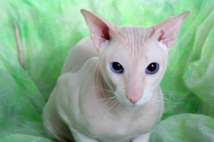 Peterbald cat; Copyright Natalia Belotelova at Dreamstime.com