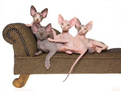 Sphynx kittens; Copyright Linncurrie at Dreamstime.com