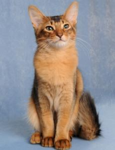 Somali cat showing ticked or Abyssinian tabby pattern